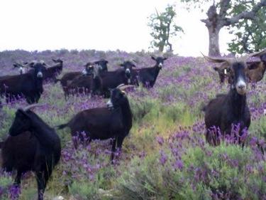 La imagen de las cabras rodeadas de plantas de cantueso habla por sí misma. Sobre por qué les gusta tanto el cantueso hay varias hipótesis.