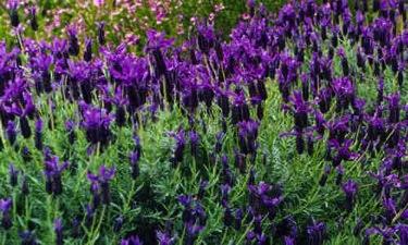Cantueso o tomillo borriquero (Lavandula stoechas) arbusto ramoso de flores muy aromáticas, ampliamente extendido por el monte mediterraneo y al que se atribuyen múltiples propiedades medicinales, y se usa, entre otras utilidades, para hacer un licor muy espirituoso.